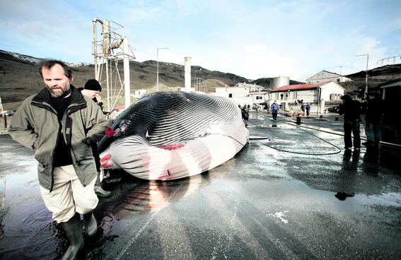 caza de ballenas islandia cazador kristjan loftsson 3
