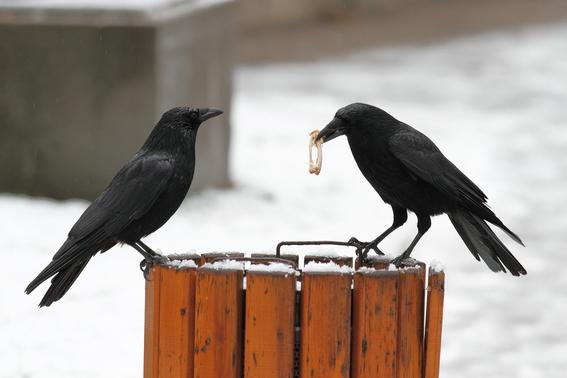 entrenan cuervos para recoger colillas de cigarros 1