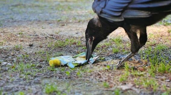 entrenan cuervos para recoger colillas de cigarros 2