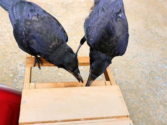 entrenan cuervos para recoger colillas de cigarros 3