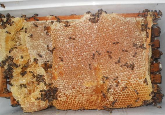 mujeres indigenas yucatecas productoras de miel 7