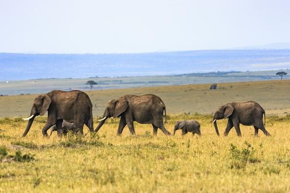 gen zombie hace a elefantes inmunes al cancer 1