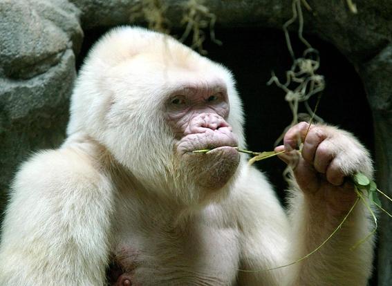 alba unica orangutan albina tendra su isla artificial 1