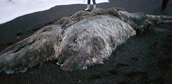 bestia peluda encontrada en la costa del pacifico 1