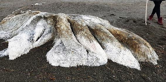 bestia peluda encontrada en la costa del pacifico 2