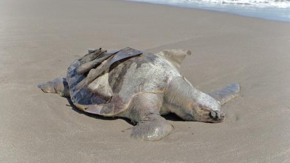 hallan tortugas muertas en chiapas 1
