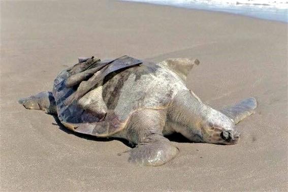 investigan muerte de tortugas en chiapas 1