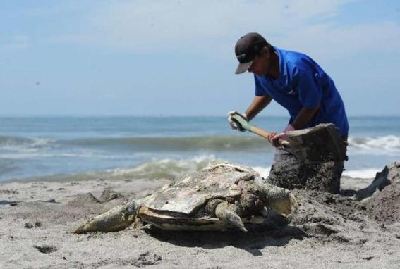 investigan muerte de tortugas en chiapas 2