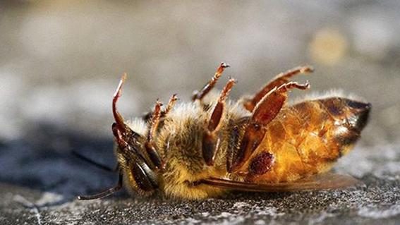 mueren millones de abejas en quintana roo 1