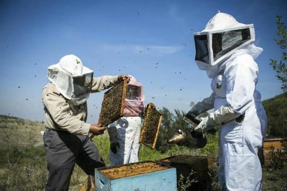 mueren millones de abejas en quintana roo 4