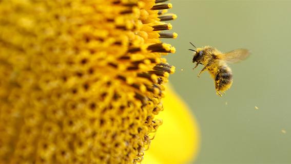 mueren millones de abejas en quintana roo 3