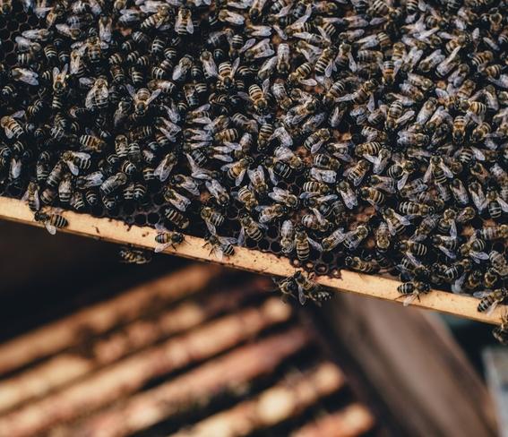 abejas mueren en quintana roo por plaguicidas 3