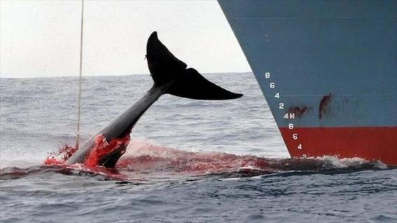 balleneros japoneses capturan ballenas en pacifico 1