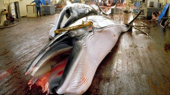balleneros japoneses capturan ballenas en pacifico 2