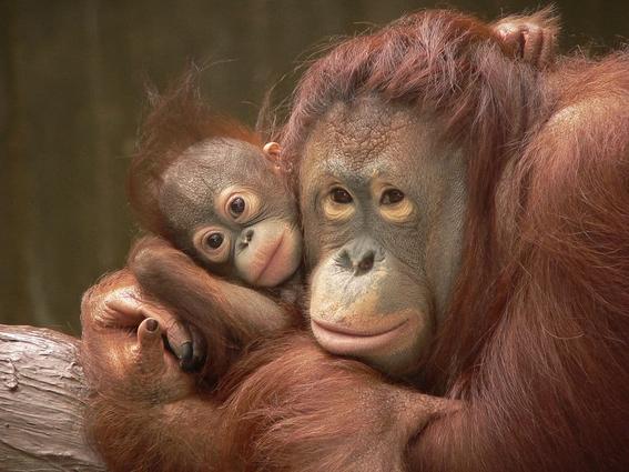 campana de greenpeace para salvar a los orangutanes 1