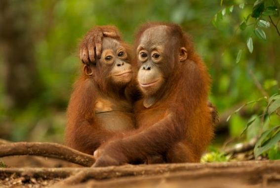 campana de greenpeace para salvar a los orangutanes 2