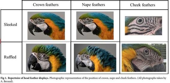 guacamayos se sonrojan en situaciones de emociones intensas 1