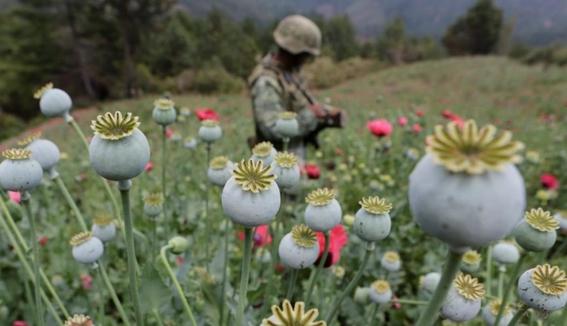 guerrero envia al congreso iniciativa para legalizar la amapola 1
