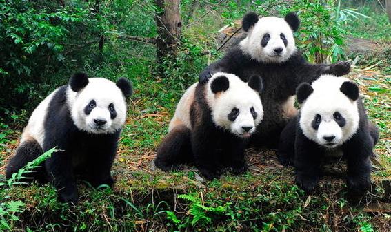 china abrira primer parque nacional protegido para pandas gigantes 1