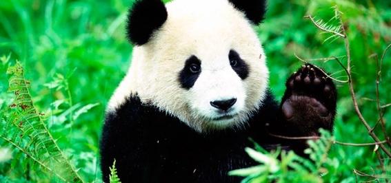 china abrira primer parque nacional protegido para pandas gigantes 2