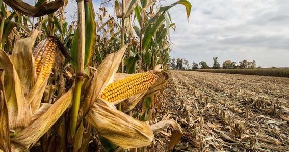 palomitas de maiz en peligro de extincion 4