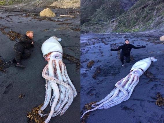 hallan un calamar gigante en nueva zelanda 2