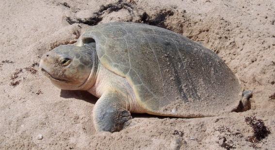 fiesta mata decenas de tortugas en peligro de extincion 2