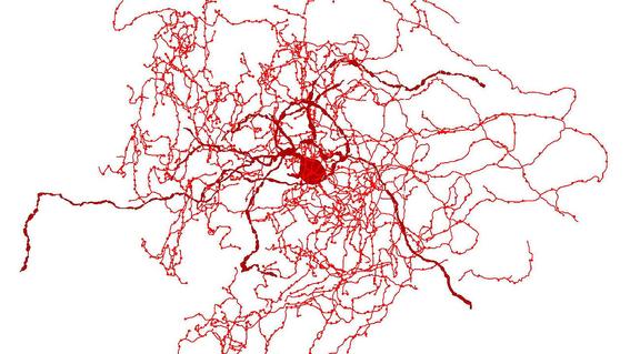 rosehip nueva neurona para desentranar consciencia humana 2