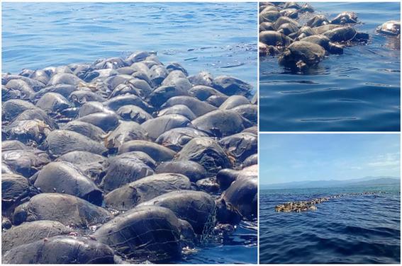 mueren tortugas atrapadas en redes de barcos atuneros mueren decenas de tortugas atrapadas en red mueren tortugas en redes de pescadores tortu 1