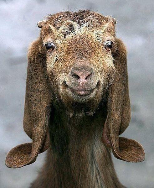 cabras prefieren a la gente sonriente 2