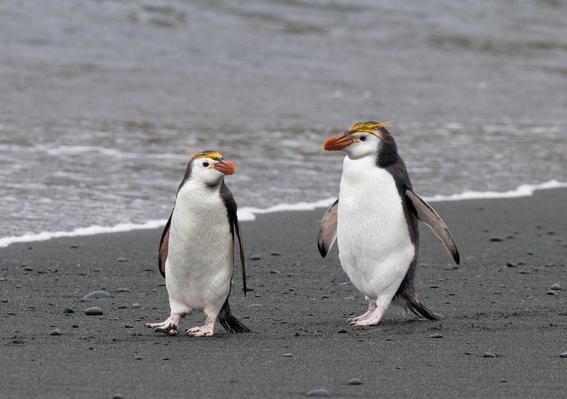 maraton de los pingüinos de nueva zelanda 5