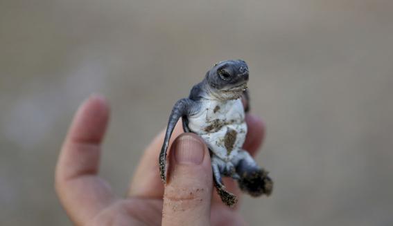 fiesta mata decenas de tortugas en peligro de extincion 3