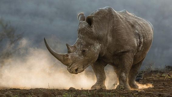 evitar muerte de once rinocerontes negros en kenia 1