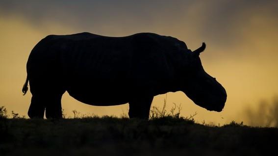 evitar muerte de once rinocerontes negros en kenia 4