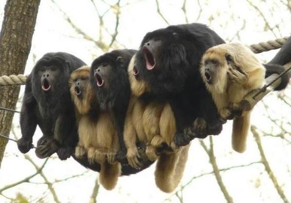 investigan muerte de monos aulladores 3