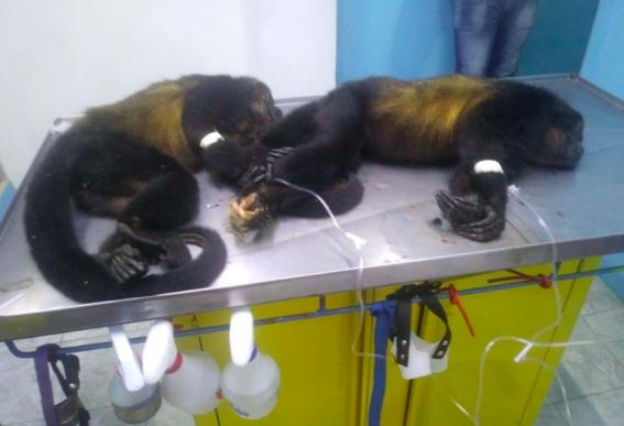 investigan muerte de monos aulladores 1