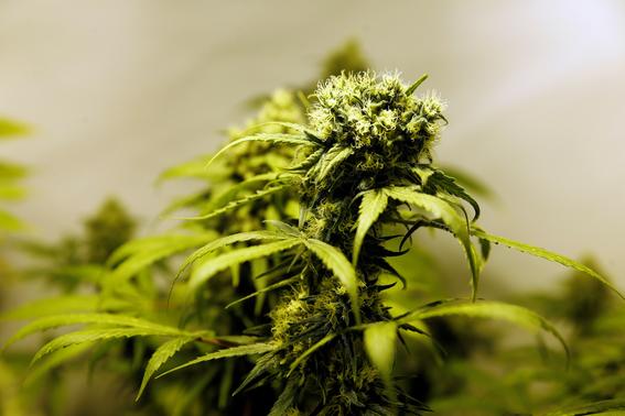 cannabidiol de la marihuana combate la psicosis 3