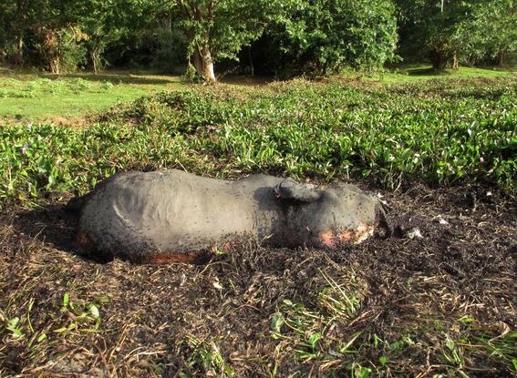 investigan muerte de elefantes salvajes en sri lanka 1