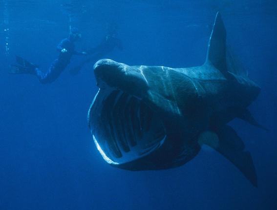 tiburon peregrino igual de terrorifico que el megalodon 1