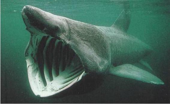 tiburon peregrino igual de terrorifico que el megalodon 2