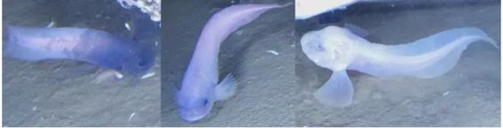 descubren tres nuevas especies en la profundidad del oceano 2