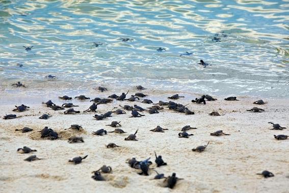 la playa que paso de ser un basurero a un hogar de tortugas 2