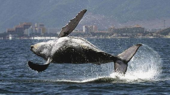 aprueban propuesta para proteger a las ballenas 1