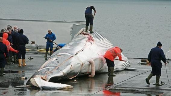 aprueban propuesta para proteger a las ballenas 3