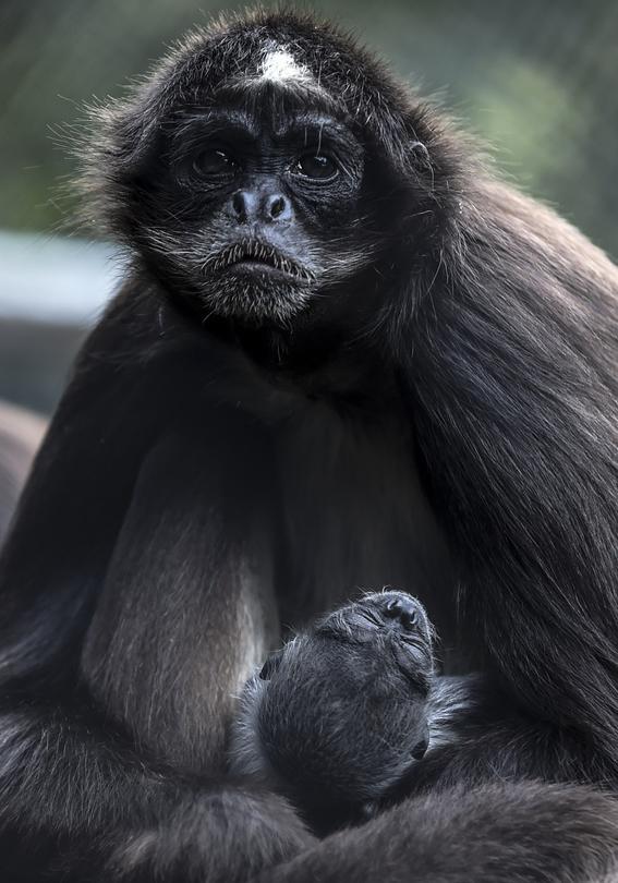 celebran el nacimiento de un mono arana 3