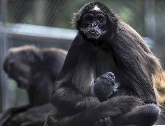 celebran el nacimiento de un mono arana 1