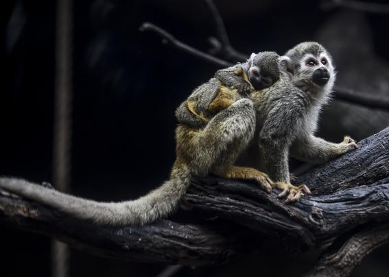 celebran el nacimiento de un mono arana 2