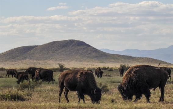 conservacion de los bisontes por la frontera entre mexico y eua 5