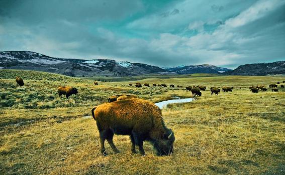 conservacion de los bisontes por la frontera entre mexico y eua 1