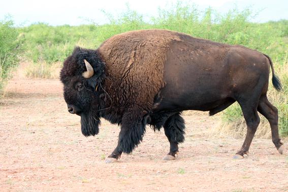 conservacion de los bisontes por la frontera entre mexico y eua 2